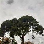 Pinus pinea Écorce
