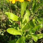 Calendula officinalis Blad