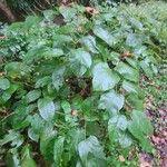 Fallopia japonica Leaf