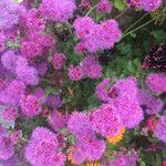 Ageratum houstonianum Flower