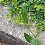 Bupleurum fruticosum Leaf