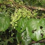 Cissampelos grandifolia