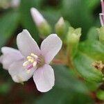 Centradenia floribunda