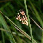 Juncus pyrenaeus