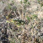 Euzomodendron