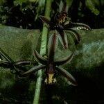 Cymbidium bicolor