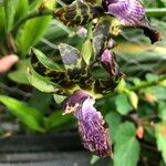 Zygopetalum maculatum Fleur