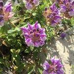 Scutellaria alpina