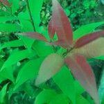 Syzygium jambos Levél