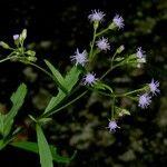 Fleischmannia sideritidis