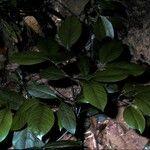Garcinia morella