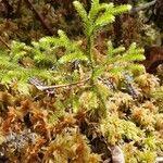 Lycopodiella cernua Leaf