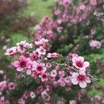 Leptospermum scoparium Flower