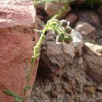 Conyza deserticola