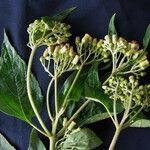 Hebeclinium macrophyllum