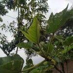 Obetia ficifolia List