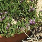 Prunella hyssopifolia