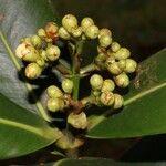 Dendropanax arboreus