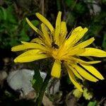 Crepis pyrenaica