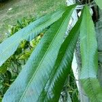 Asplenium serratum