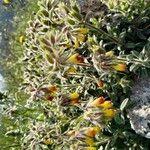 Onosma frutescens