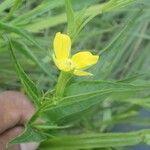 Heliotropium lagoense