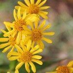 Faujasia salicifolia