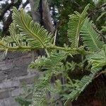 Senegalia rehmanniana Feuille