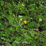 Acacia tortuosa