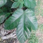 Ficus esquiroliana
