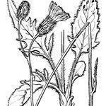 Hieracium caesioides