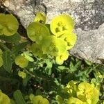 Euphorbia amygdaloides Flower