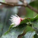 Syzygium cymosum