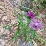 Carduus acanthoides
