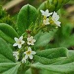 Heliotropium supinum