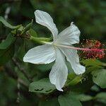 Hibiscus waimeae