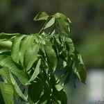 Wrightia arborea