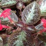 Episcia cupreata Fleur