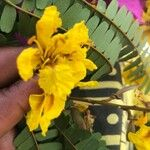 Peltophorum pterocarpum Flor