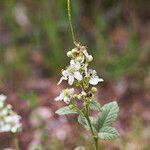 Rubus canescens Feuille