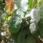 Coccoloba acuminata