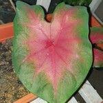 Caladium bicolor Leaf
