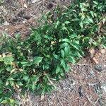 Ruscus hypophyllum