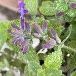 Salvia viridis