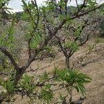 Prunus dulcis 果実