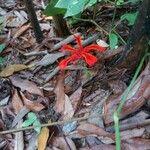 Etlingera araneosa Virág
