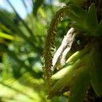 Oberonia disticha