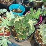 Pilea nummulariifolia