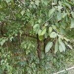 Rhamnus cathartica Vili
