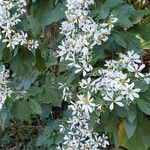 Montanoa hibiscifolia Flower